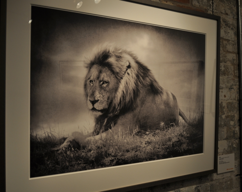 Grace Africa in Photographs - Andrew MacNaughtan - Geddy Lee commented on Lion